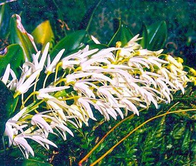 Gulaga Orchid flower