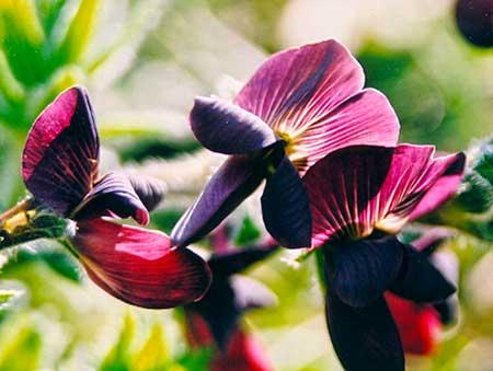 Chiron flower