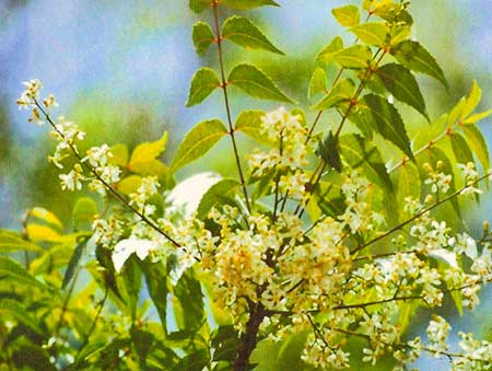 Isan (Neem) flower