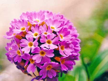 Nirjara 1 flower