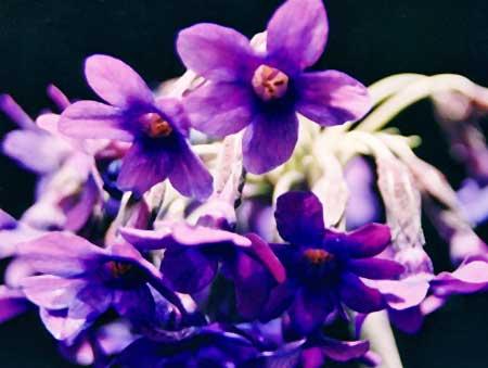 Rock Primula flower