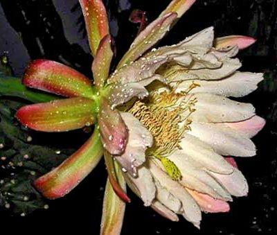 Veil of Dreams flower