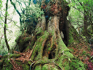Ancient Myrtle tree