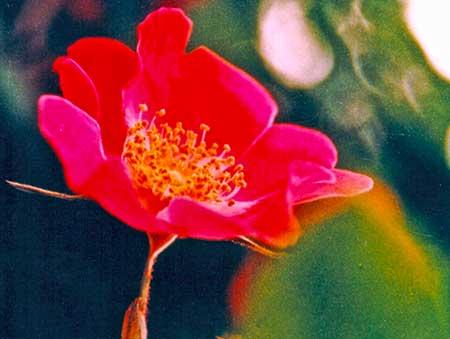 Ecstasy flower